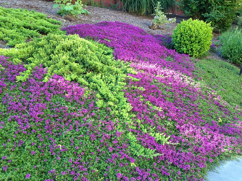 flowering-thyme-4-reduced
