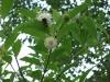 button-bush-bees-2