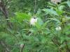 button-bush-bees-3