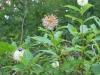 button-bush-bees