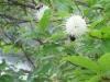 button-bush-close-up