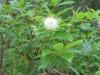 button-bush-flower
