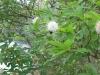 button-bush-wetland-shrub