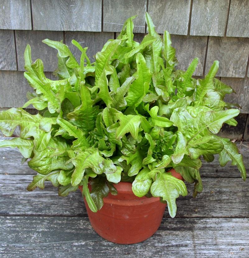 lettuce-in-pot