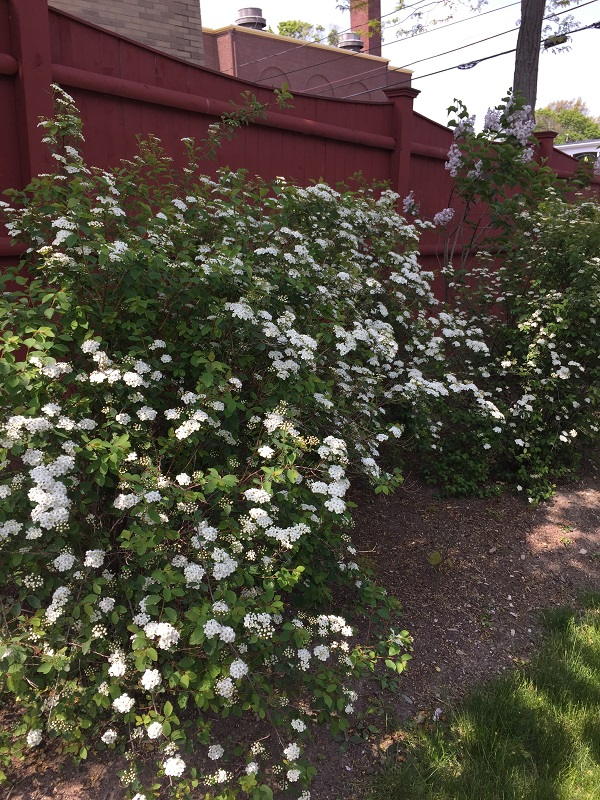 historic garden design with flowering shrubs along fence