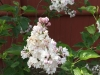 historic garden design with flowering lilac