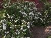 historic garden design with flowering shrubs along fence