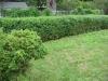 spooner-hedge-before-pruning