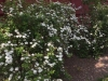heirloom flowering shrubs
