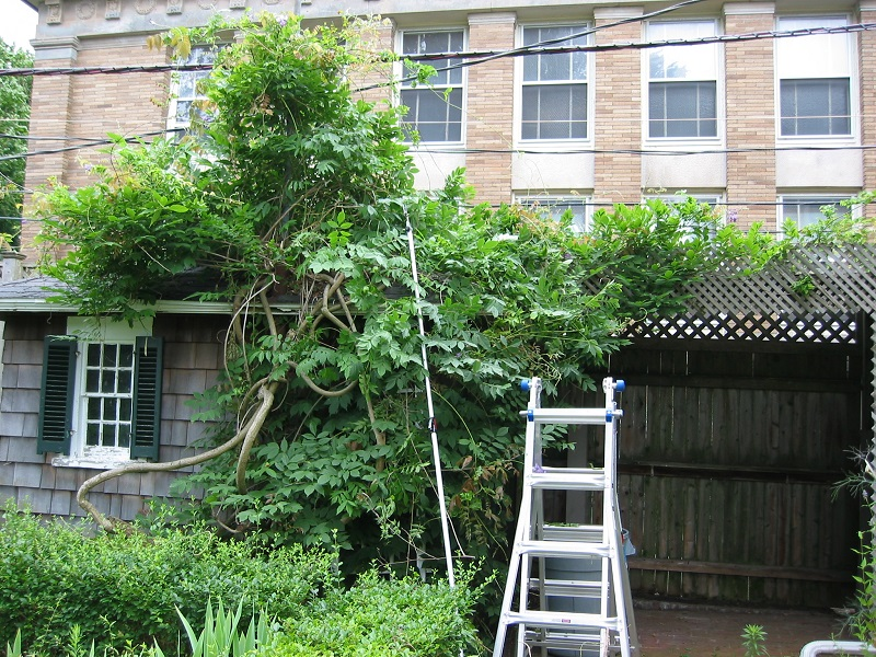 pruning-wisteria-1-2
