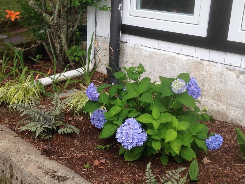 planting-bed-hydrangea