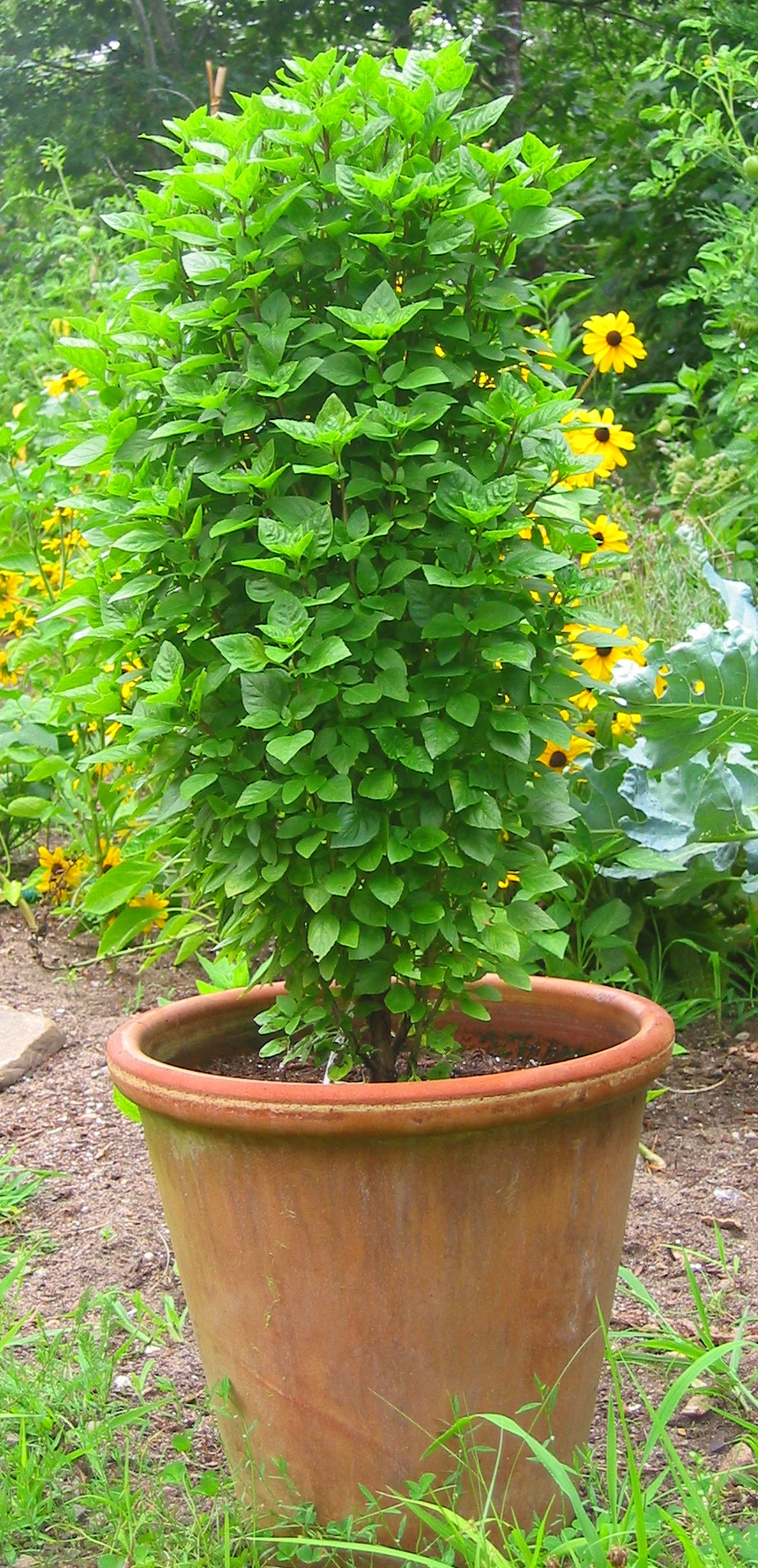 Greek Columnar Basil