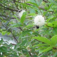 Bees and Button Bush